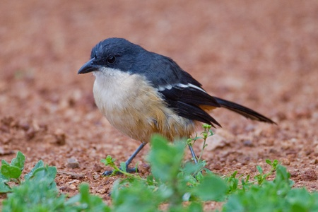 Fiscal shrike (lanius collaris) at Addo Elephant Park in South Africa. Stock Photo - 10162425