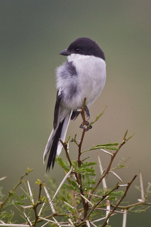 fiscal: Fiscal shrike (lanius collaris) at Addo Elephant Park in South Africa.