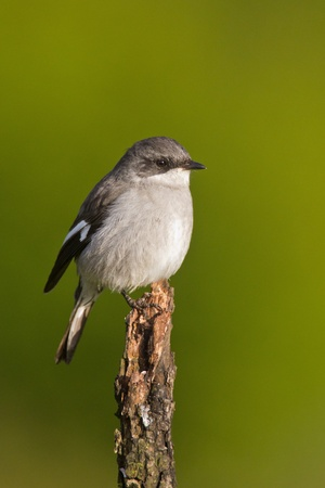 Fiscal shrike (lanius collaris) at Addo Elephant Park in South Africa. Stock Photo - 10162415