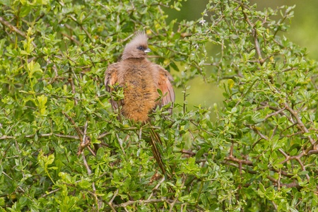 Speckled mousebird (colius striatus) at Addo Elephant Park in South Africa. Stock Photo - 10162250