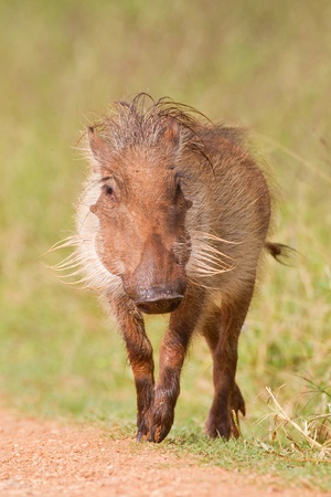 wart: Warthog (phacochoerus africanus) at Addo Elephant Park in South Africa.