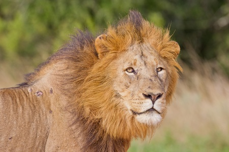 southern africa: Male lion (leo panthera) at the Addo Elephant Park in South Africa.