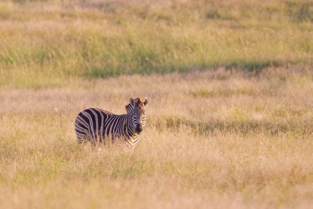 burchell: Burchells zebra (equus quagga) at Addo Elephant Park in South Africa.