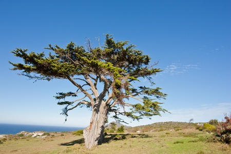 Wild tree at the Cape of Good Hope peninsula in South Africa. Stock Photo - 10162357