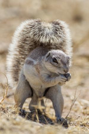 cape ground squirrel: Cape ground squirrel in Etosha National Park, Namibia
