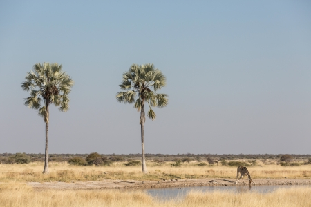 africa tree: Drinking giraffe in Etosha National Park, Namibia