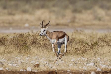 springbuck: Springbuck in Etosha National Park, Namibia