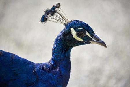 bird head proud peafowl peacock closeup Banque d'images - 111462533
