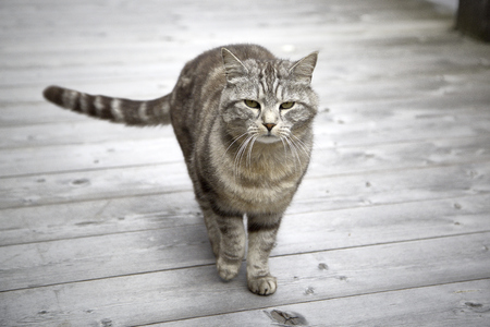 beautiful tiger cat standing portrait 写真素材