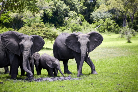 african elephant family walking protecting baby Stock Photo