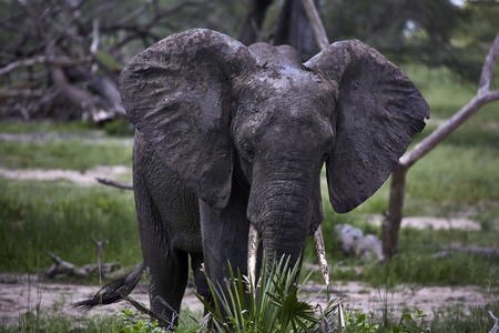 african elephant attack threatening with big ears Imagens