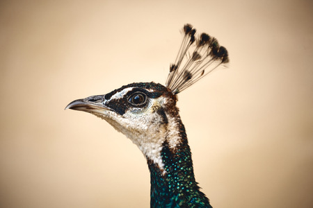 bird head proud peafowl peacock macro Banque d'images - 111462607
