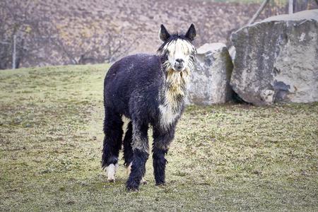 lama black white portrait