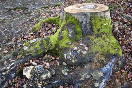 Mossy tree stump deep rooted