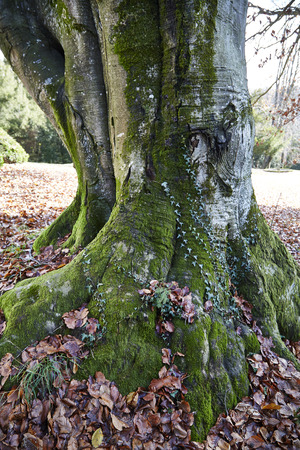Mossy Strong Thick Tree Trunk Wrinkled Bark Stock Photo