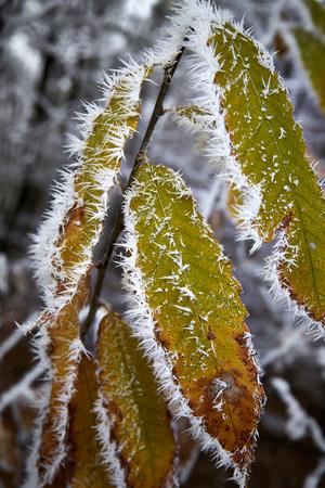 frozen leaves winter macro hoarfrost white frost 版權商用圖片