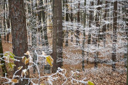 frozen wood winter trees hoarfrost white frost 版權商用圖片