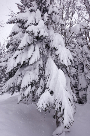 winter forest deep snow cold trees white beautiful