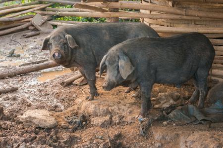 Schwarze Schweine im Pferch. Standard-Bild - 48306932