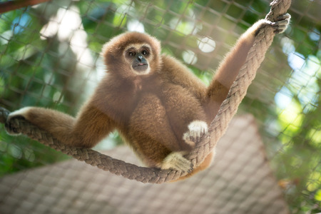 biped: Brown Gibbon in the zoo