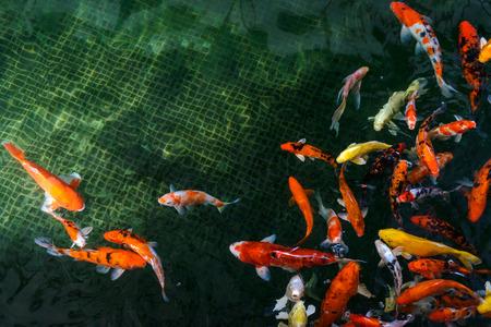 koi carp: koi carp fish swimming in the pond