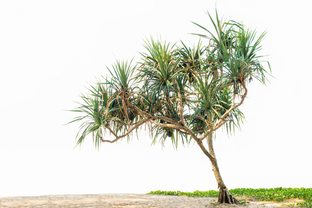 砂のビーチとサツマイモの美しい熱帯植物パンダナス ツリー。白い背景に分離されたスペースにコピーします。