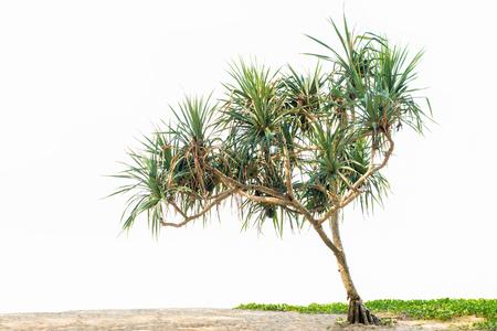 Mooie tropische plant Pandanus-boom op zandstrand en Ipomoea. geïsoleerd op een witte achtergrond, kopie ruimte. Stockfoto