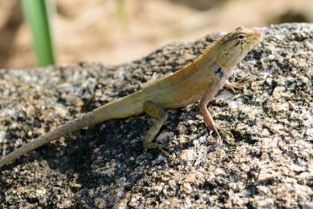vivarium: a golden chameleon stop on a rock.