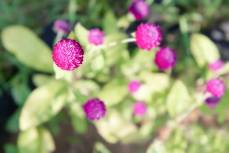 Lila Amarant Blumen, lila Gomphrena im Garten. Draufsicht. Standard-Bild - 60274568