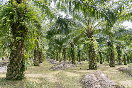 matured: Matured Oil Palm Trees, Rows of Oil Palm Plantation. Stock Photo