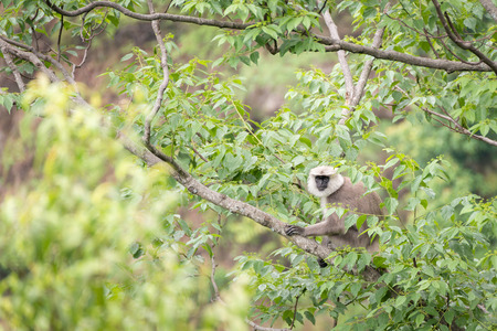 Graue Languren oder Hanuman-Languren auf dem Baum. Standard-Bild - 60100763