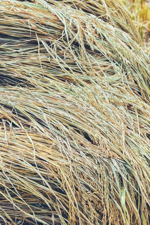 Ohr von Paddy Haufen, geerntet Reisfeld. Standard-Bild - 60100775