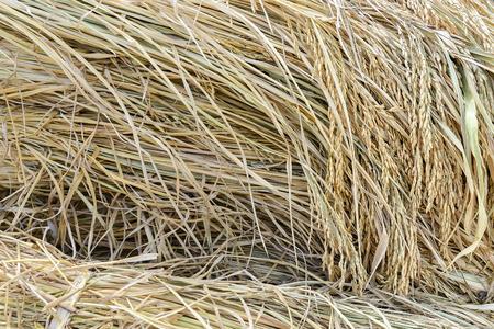 Ohr des Paddystapels, geerntetes Reisfeld. Standard-Bild - 60100785
