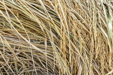 Ohr des Paddystapels, geerntetes Reisfeld. Standard-Bild - 60100798