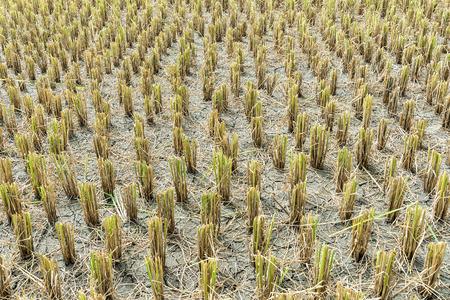 Geerntetes Reisfeld in Norden von Thailand Standard-Bild - 60100844