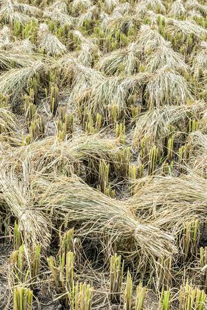 Die geernteten Reisfeld mit Ohr von Paddy um. Standard-Bild - 60100851