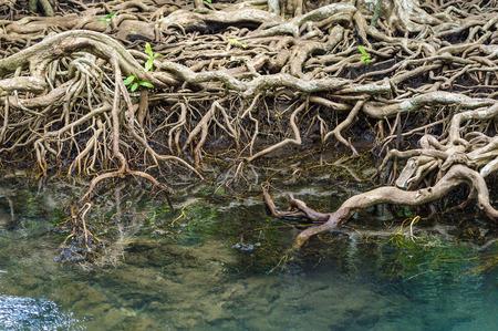 Die Wurzeln der Mangroven, hautnah. Standard-Bild - 60100903