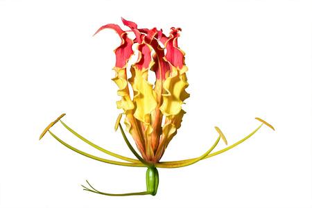 Gloriosa superba lokalisiert auf weißem Hintergrund mit Beschneidungspfad Standard-Bild - 62465407