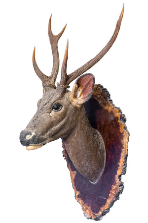 Deer Kopf-Modell montiert auf Wand isoliert auf weißem Hintergrund. Standard-Bild - 62466033
