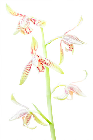 Beautiful orchid flowers: Cymbidium ensifolium, tropical orchid in south of Thailand. Isolated on white.