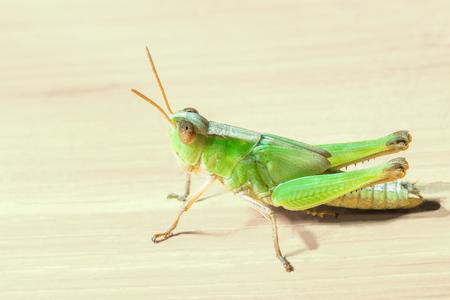 grasshopper on wooden plank background.