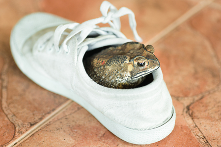common hop: Brown toad hiding in white shoe.