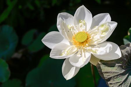 Weißen Lotosblume in Teich Standard-Bild - 62466359