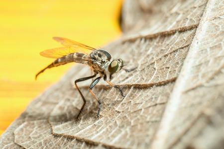 Robberfly (Asilidae) Standard-Bild - 62466892