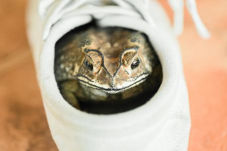 Brown Kröte versteckt im weißen Schuh. Standard-Bild - 62466885