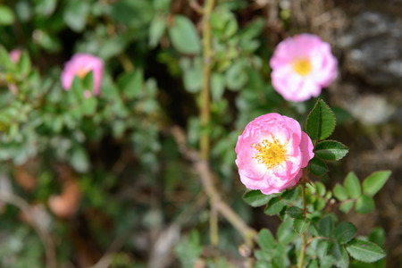 Beautiful pink rose in the green garden. 스톡 콘텐츠