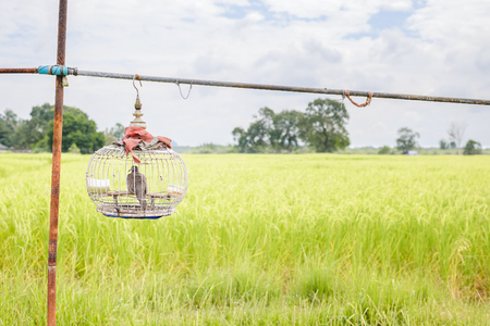 Dove in wooden cage with beautiful green rice field background. Copy space.