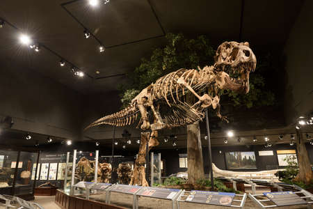 EDITORIAL, 12 July 2017, Bozeman Montana, Museum of the Rockies, Tyrannosaurus Rex Fossil Exhibit Stock Photo - 86465247