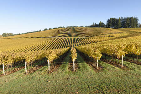 Fall Morning Colors of Vineyards in the Mid Willamette Valley, Marion County, Western Oregon