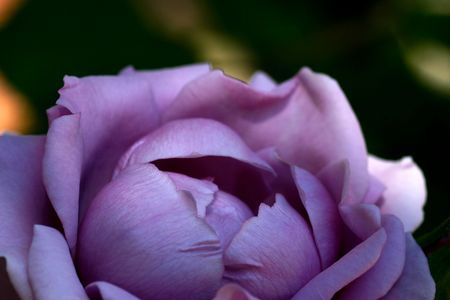 ball like: A round almost ball like lavender color rose